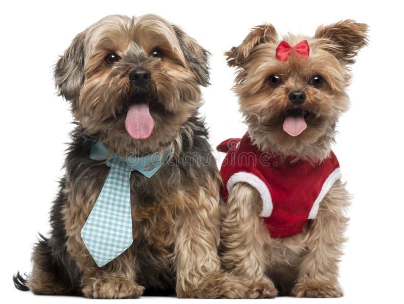 Yorkshire Terriers kleedde zich omhoog, 4 en een half stock foto's