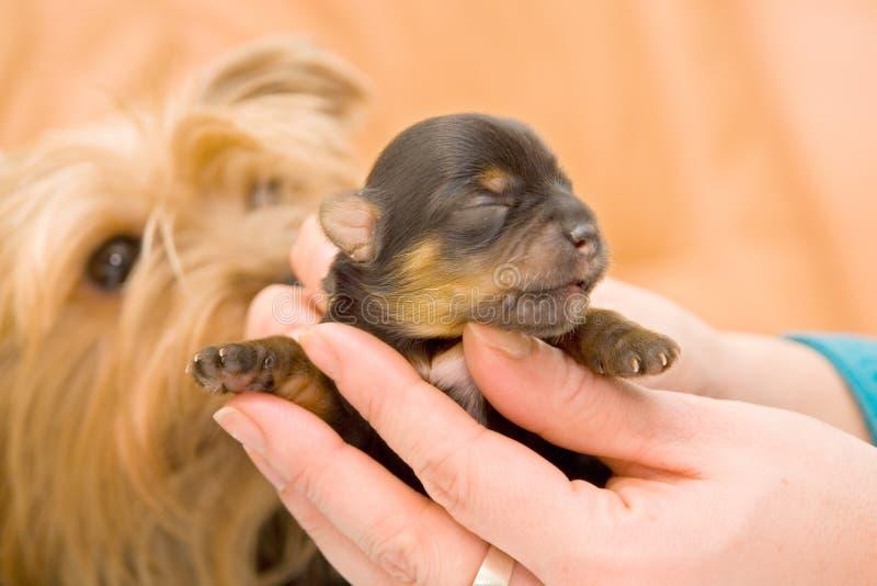Yorkshire-Terrierschätzchenwelpe lizenzfreie stockfotografie