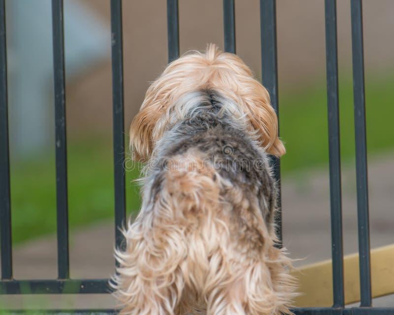 Yorkshire-Terrierstellung vor einem Hinterhofhaustiertor lizenzfreies stockbild