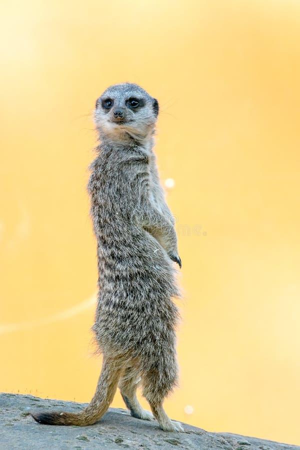 A meerkat standing up on rock. Yorkshire Wildlife Parks Meerkat stock photo