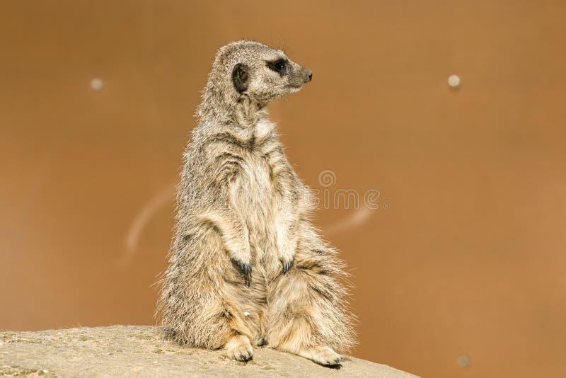 A meerkat siting up on rock. Yorkshire Wildlife Parks Meerkat royalty free stock image