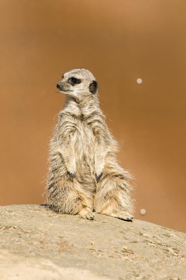 A meerkat siting up on rock. Yorkshire Wildlife Parks Meerkat stock images