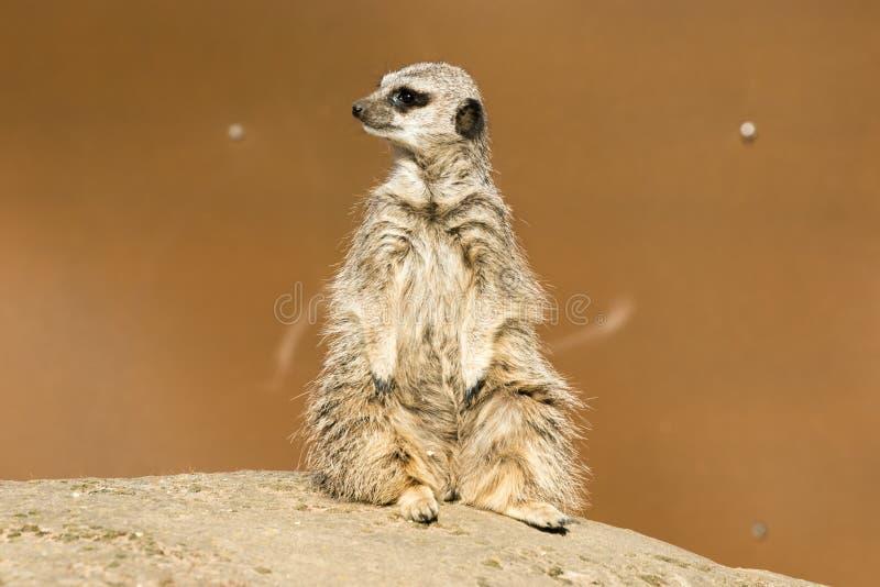 A meerkat siting up on rock. Yorkshire Wildlife Parks Meerkat royalty free stock photos