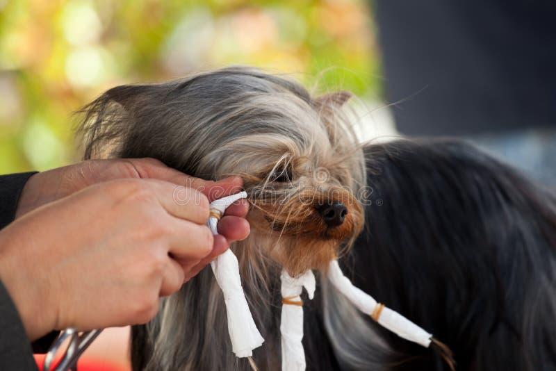 Yorkshire z fryzjerem dla psa zdjęcie royalty free