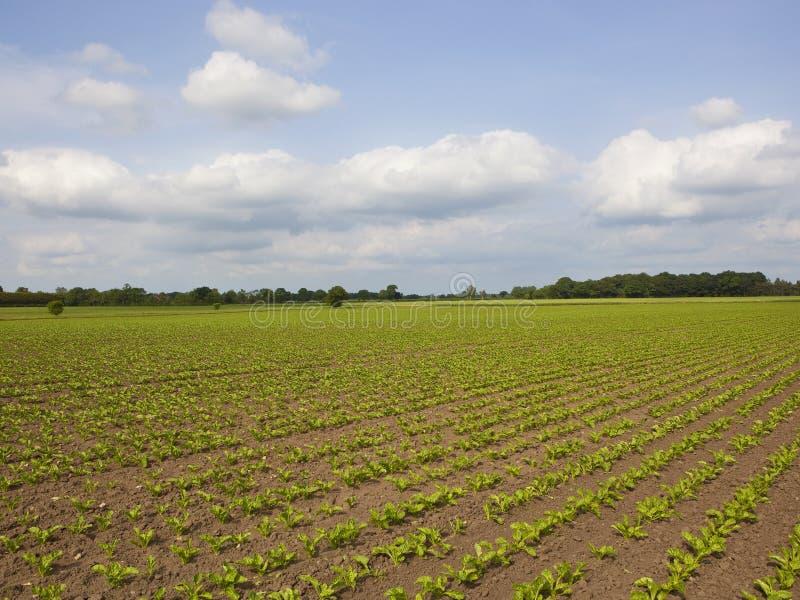Yorkshire-Zuckerrübenfelder im Frühjahr stockfotos
