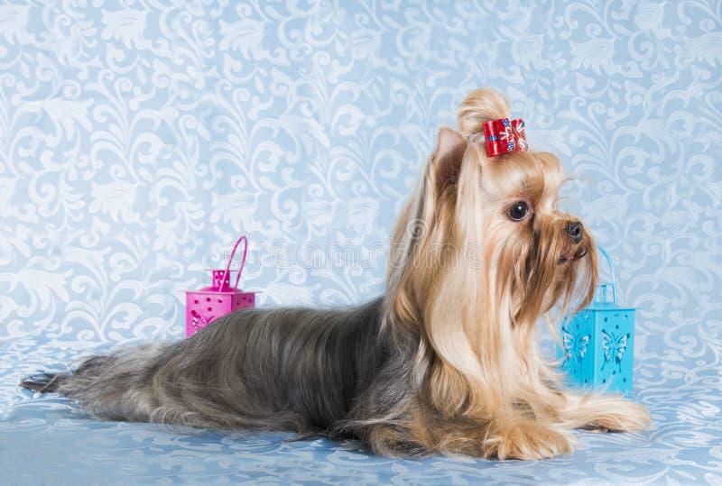 Yorkshirskiy Terrier för hund blå bakgrund royaltyfria foton