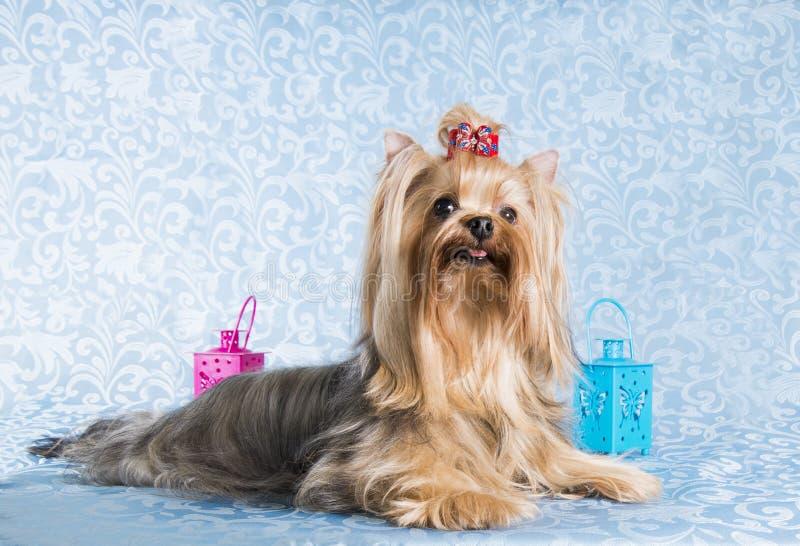 Yorkshirskiy Terrier för hund blå bakgrund royaltyfria bilder