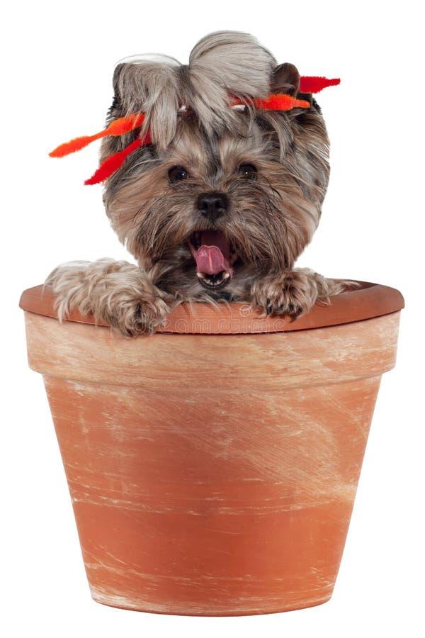 Yorkshore Terrier in einem Blumen-Potenziometer stockfoto