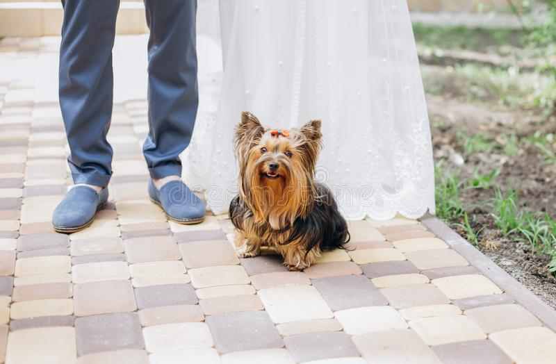 Yorkterrier dog haircut sits feet owners couple stock photography
