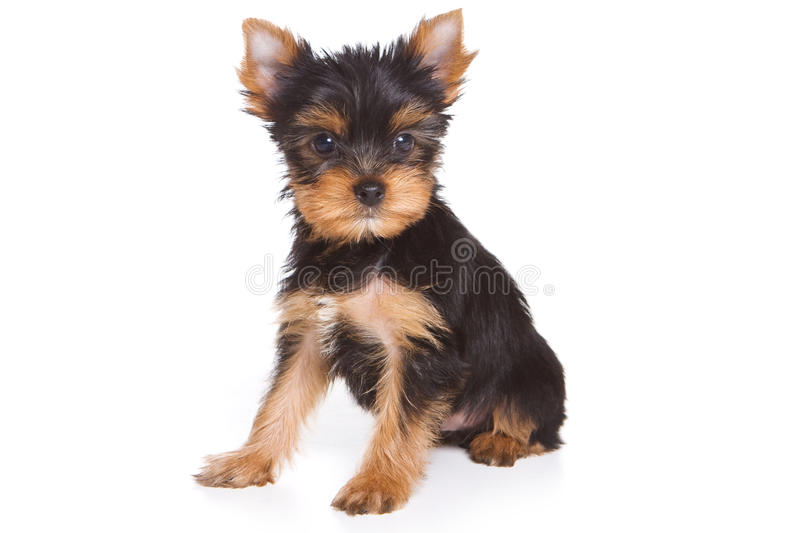 Yorshire terrier puppy