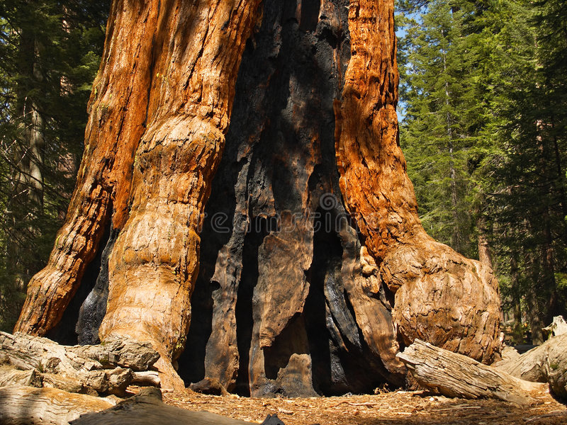 Yosemite: Base of Grizzly Giant. Base of Grizzly Giant, oldest sequoia in Yosemite's Mariposa Grove royalty free stock photography