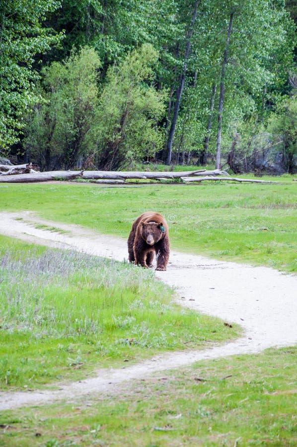 Yosemite Bear taking a stroll through Mirror lake meadow stock photo