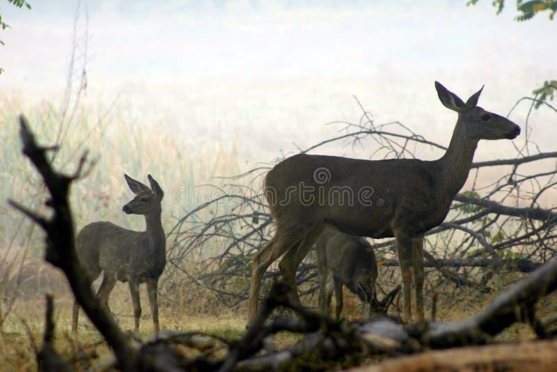 Yosemite bock & x28; Deer& x29; arkivfoto