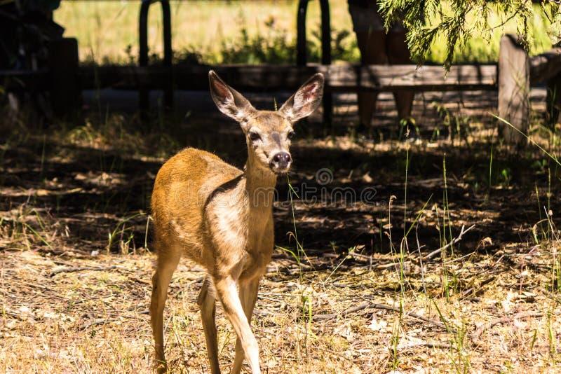 Yosemite Buckie stock photo