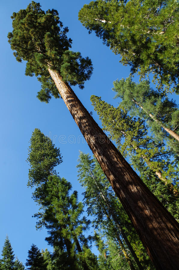 Yosemite National Park - Giant Sequoia stock photos