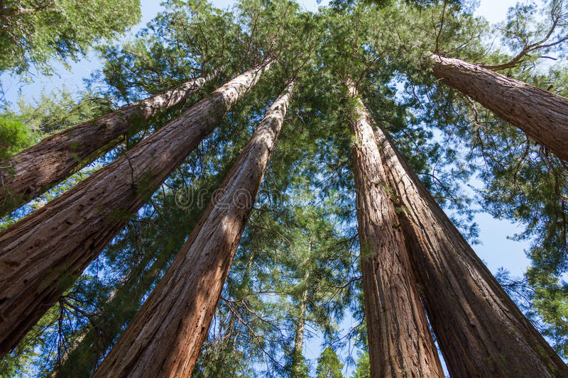 Yosemite National Park - Mariposa Grove Redwoods royalty free stock photos