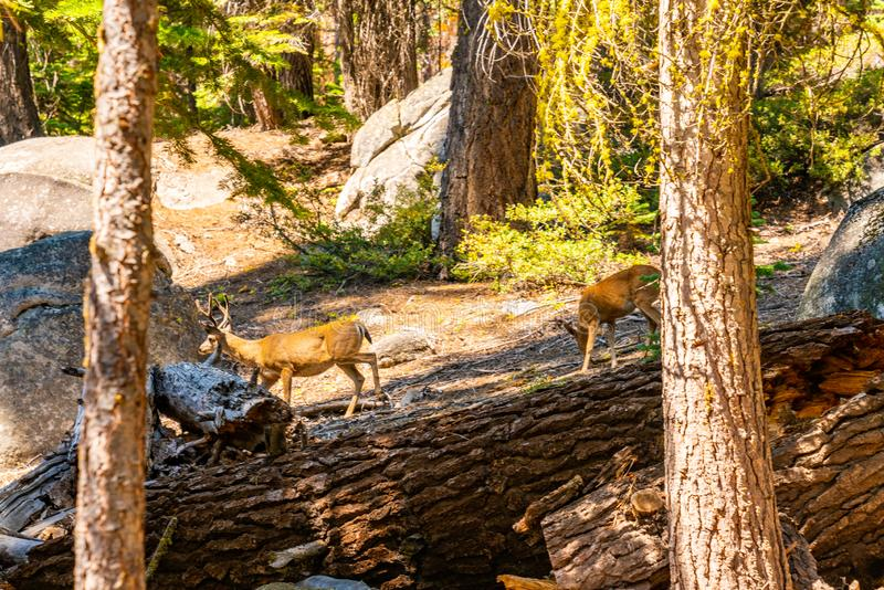 Yosemite National park wildlife. Deers walking in the wild royalty free stock photos