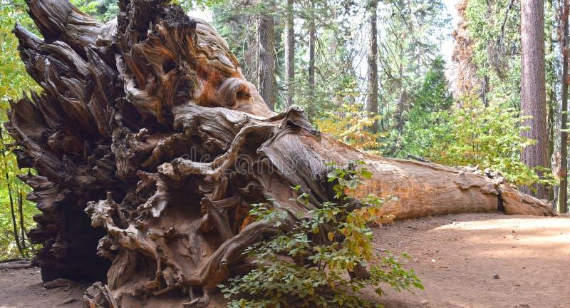 Yosemite Nationalpark, gefallener Baum stockfotos