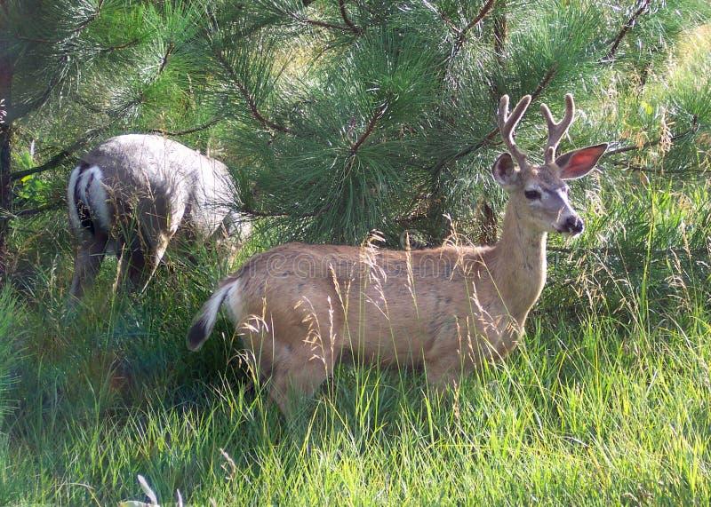 Yosemite Valley Deer royalty free stock images