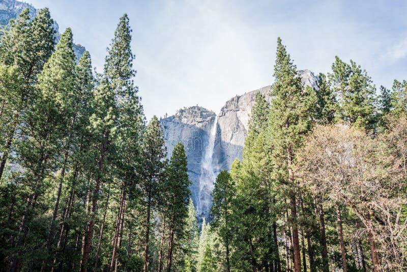 Yosemite-Wasserfälle hinter Mammutbäumen in Yosemite Nationalpark, Kalifornien stockbilder
