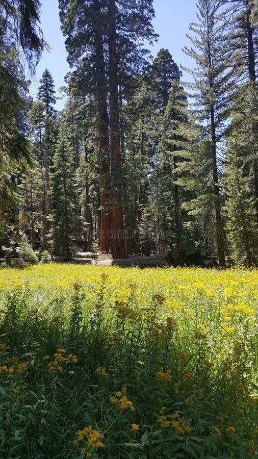 Yosemitebosje stock foto's