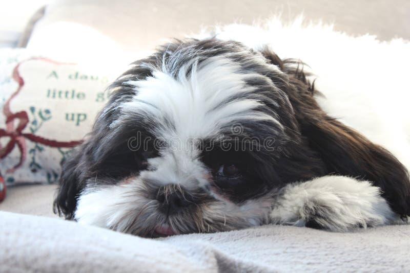 Yoshi el perrito fotos de archivo libres de regalías