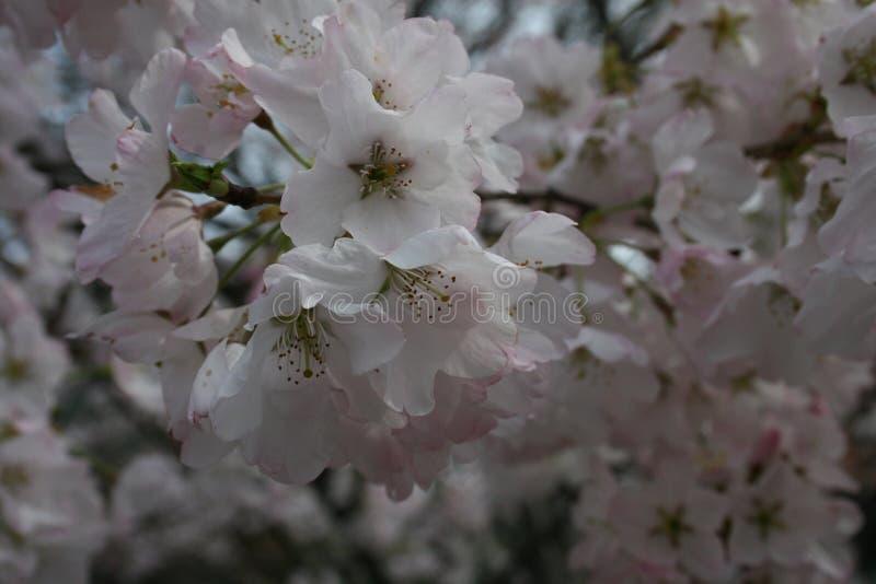 Yoshino Cherry I 2019 fotografía de archivo libre de regalías