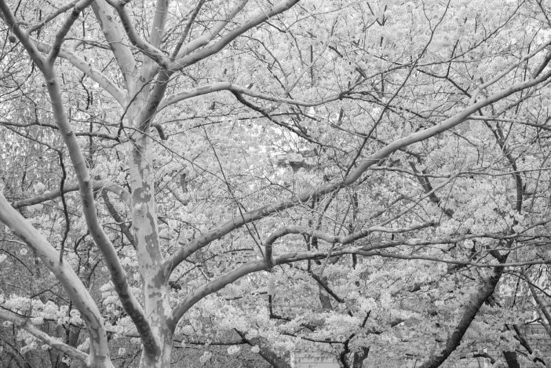 Yoshino Cherry Tree en la floraci?n fotos de archivo