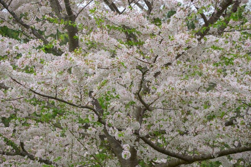 Yoshino Cherry Tree in fioritura immagini stock libere da diritti