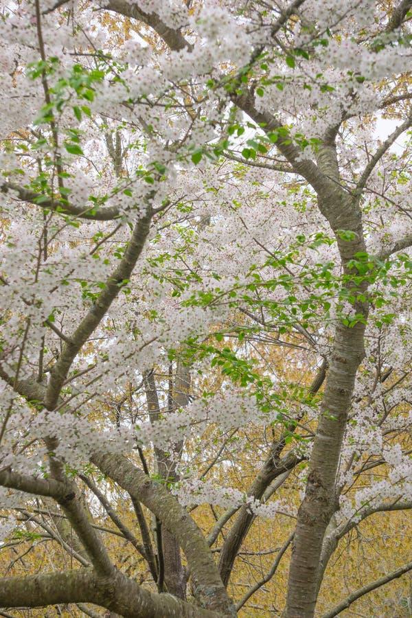 Yoshino Cherry Tree in fioritura fotografia stock