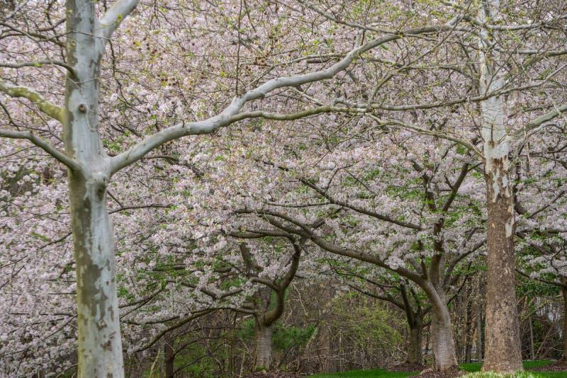 Yoshino Cherry Tree in fioritura fotografie stock libere da diritti