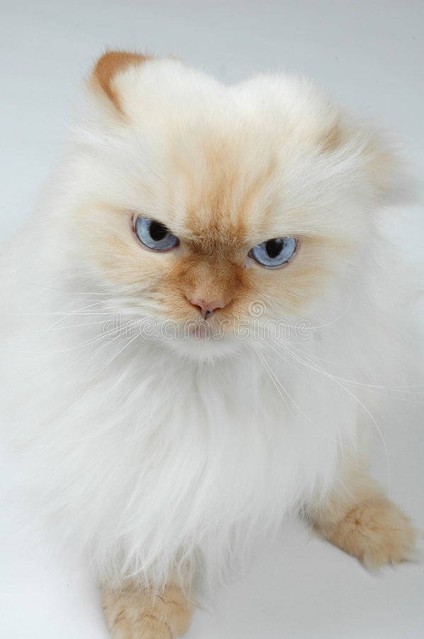 You got a problem?. Big blue eyed persian looks irritated or mad. Lexus the Cat