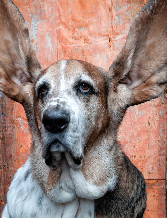 Are you listening?. Basset hound has large ears held up and is all ears stock image