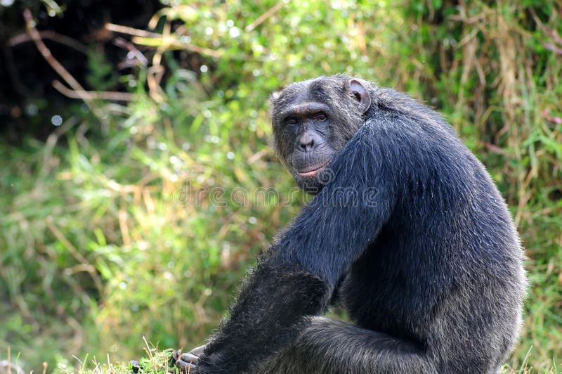 Download So are you looking at stock photo. Image of nature, chimp - 34310142