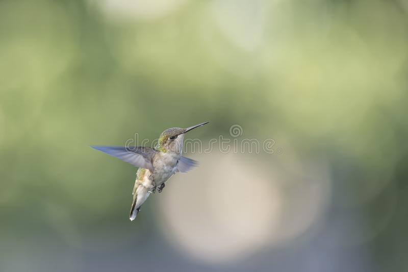 Are you looking at me!. Very young male Ruby-throated Hummingbird, Archilocus colubris, hovering in the garden stock photography