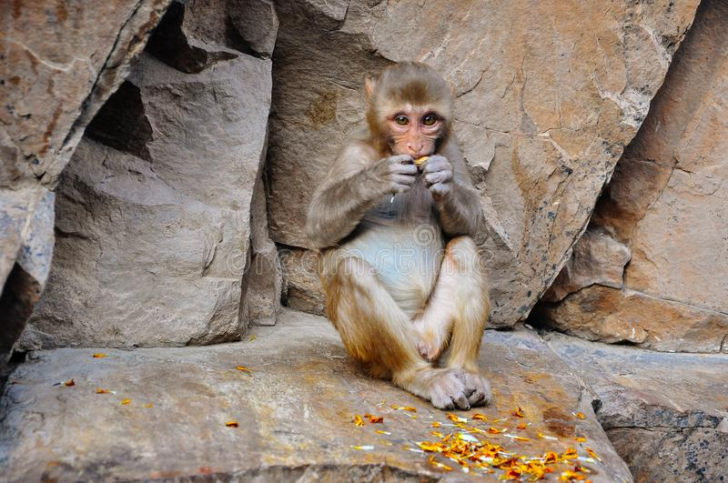 A Macaque monkey sitting at the Hanuman Temple near Jaipur, India. stock photography