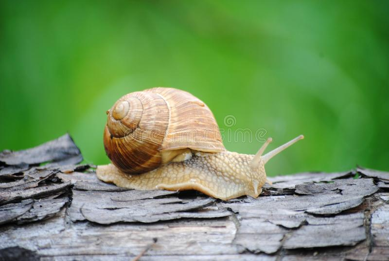 Snail that loves to walk in the morning. Snail crawling on a tree. Russia. Kolomna stock photography