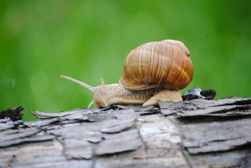 Snail that loves to walk in the morning. Snail crawling on a tree. Russia. Kolomna stock photo