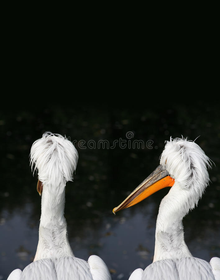 Are You Okay?. Friendship concept. Portrait of two wet pelicans on dark background royalty free stock image