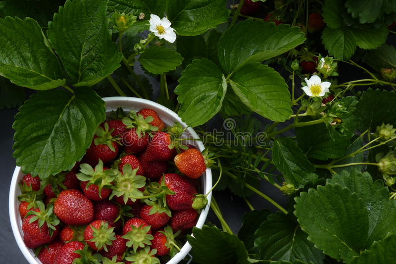 Download You-Pick-Em Strawberries Royalty Free Stock Photography - Image: 15052317