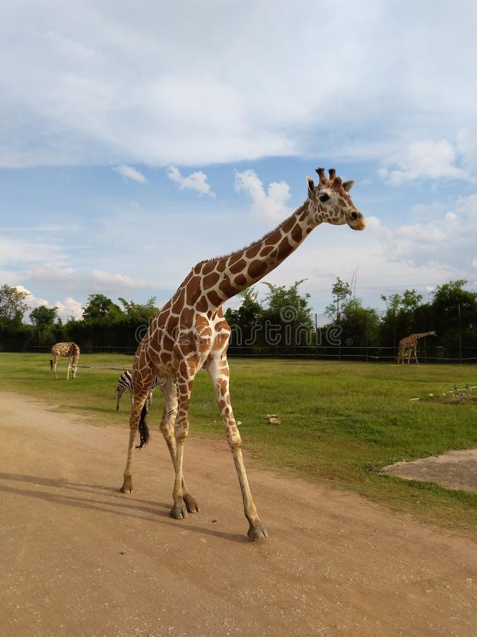 Giraffa at Kanchanaburi Zoo in Thailand royalty free stock photos