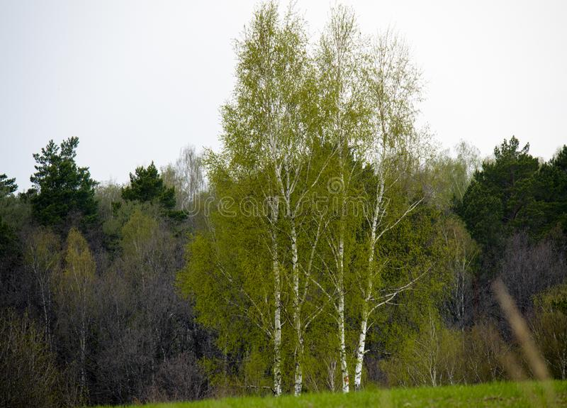 Birch tree getting green on spring time middle Russia royalty free stock images