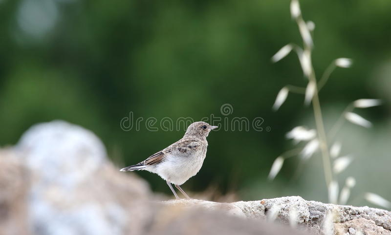 Youn Black-Eared wheatearOenanthe Hispanica royaltyfri foto