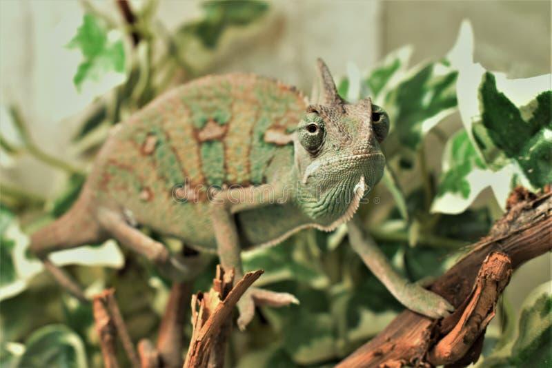 Yound gräsplankameleont på sidor arkivbilder