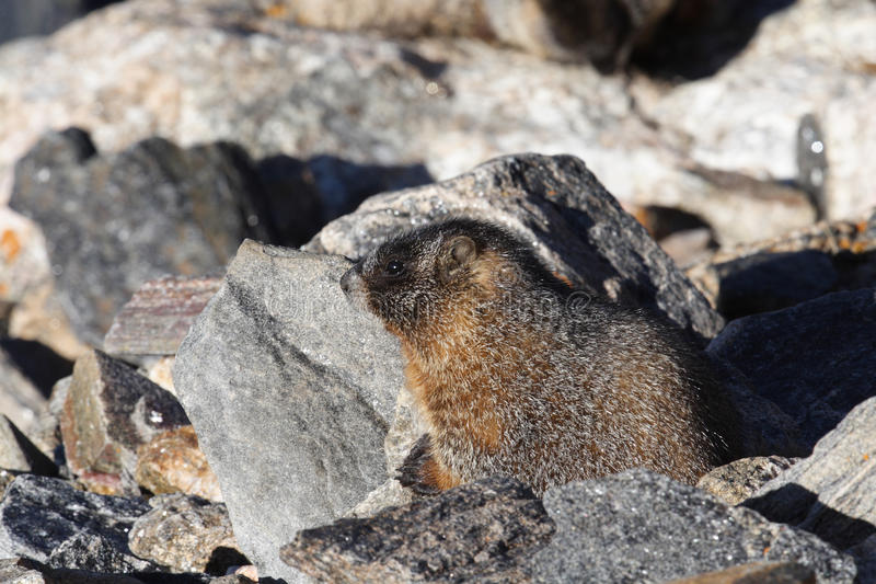 Young Marmot Stock Photography