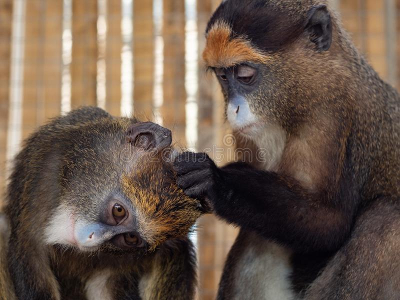 Young De Brazza monkeys. Young De Brazza monkey finding fleas on another's head as if they are grooming each other stock image