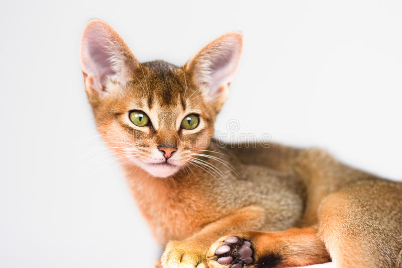 Young Abyssinian cat royalty free stock image