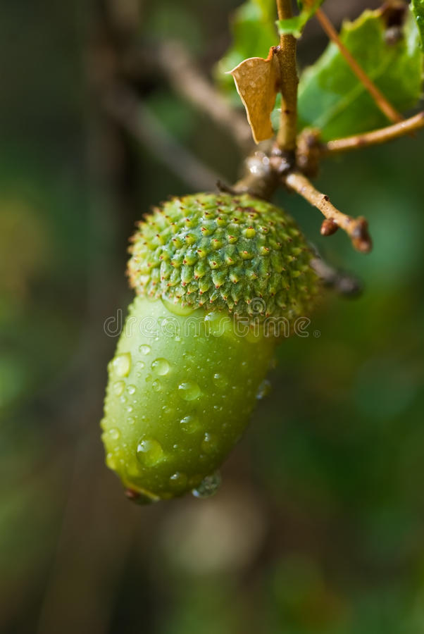 Download Young acorn stock image. Image of moisture, nature, water - 15734621