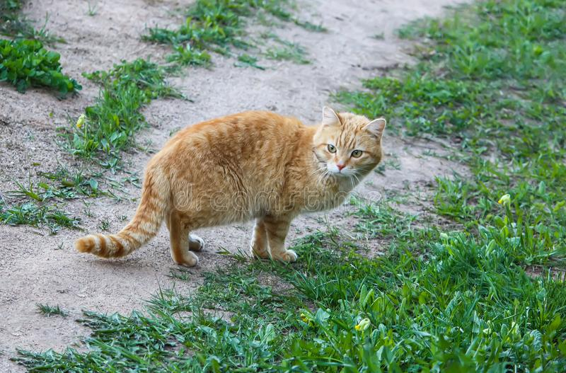 Young active сat with green eyes on summer grass background in a country yard. royalty free stock photos