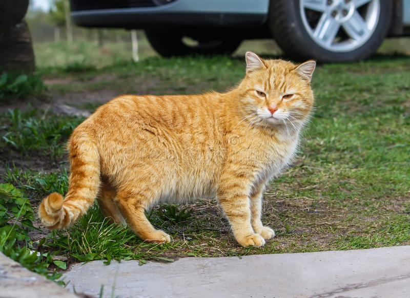 Young active cat with green eyes on summer grass background in a country yard. royalty free stock images